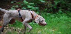 Slowakischer rauhaariger Vorstehhund Deutschland - Der SHS als Mantrailer