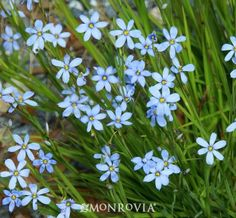 An excellent perennial for garden borders, tucked among rockery or near the edge of a pond. Clusters of dainty violet-blue flowers on short ...