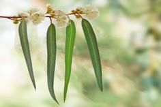 Eucalyptus Globulus Essential Oil profile | Known in Australia as the 'blue gum tree', no species of Eucalyptus has ever received as much attention from botanists and chemists as that of E. globulus, and due to the early discovery of its many therapeutic benefits eucalyptus essential oil is still used today in pharmaceutical products such as cough sweets, throat lozenges and decongestants.