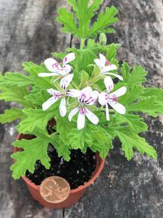 MOSQUITO PLANT Citronella Scented Geranium 3 Plants with | Etsy Mosquito Plants, Scented Geranium, Citronella, Pest Control, Geraniums, Herb Garden, Outdoor Living, Pots, Herbs