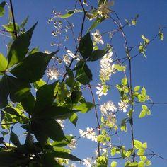 """""""Blå himmel, klematis och vildvin.  #pergola #trädgård #trädgårdsinspiration #klematis #vildvin #sommar #sensommar #alltomträdgård #Körsbärsgården #79392"""""""
