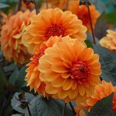 Dahlia 'Dawid Howard' - Der wunderschöne warme tief-orangefarbene Pastellton passt perfekt zu ihrem tief-lila Blatt. David Howard ist eine gesunde, reich blühende Dahlie, die sehr gut wächst. Gepflanzt werden die Knollen im Frühling. Erhältlich im Onlineshop www.fluwel.de