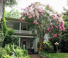 Southern Lagniappe: The Crape Myrtles of Vicksburg i want this crepe myrtle in my front yard