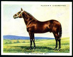Cigarette Card - Cleveland Bay Horse