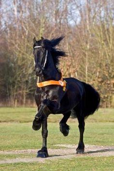 SES Stallion: Norbert 444, Friesian, Frozen Semen Equine Semen