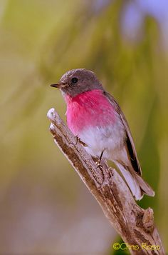 Rose Robin (Petrioca rosea)