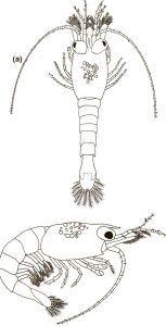 Neocaridina shrimp Carapace on 1st stage