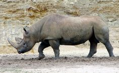 Africa's Western Black Rhino is Now Officially Extinct | Inhabitat ...