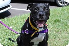 American Staffordshire Terrier Dog for adoption in Tampa, Florida - BENSON (CH kw)