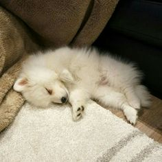 No room is complete without a fuzzy pup curled up in the corner Cute Baby Dogs, Cute Baby Animals, Cute Puppies, Samoyed Dogs, Pet Dogs, Dog Cat, Pomeranians, Doggies, American Eskimo Puppy