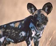 Join in and help save the African Wild Dog. Fewer than an estimated 5,000 African Wild Dogs now exist in the wild. They are gorgeous creatures and greatly misunderstood. Learn about this beautiful animal and take action!