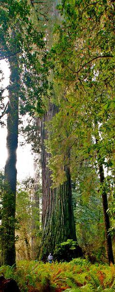 Jedediah Smith Redwoods Park - Crescent City, CA