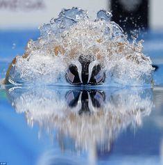 Phelps cuts through the water in the 200m individual medley, on his way to the…