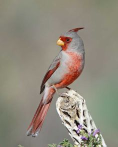 Pyrrhuloxia can be found at Pancho Villa State Park, which is part of the SW NM Birding Trail