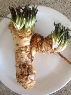 This Horseradish Root was the product of two seasons before harvesting took place @ Michelles Gourmet garden
