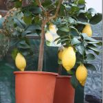 growing-fruit-in-containers