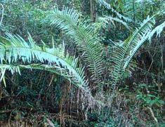 Encephalartos aplanatus cycad           Swazi Northeastern Forest Cycad           S A no 14,10