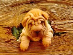 Some very cool photography of a Shar Pei. Cachorros Shar Pei, Shar Pei Puppies, Cute Puppies, Dogs And Puppies, Animals And Pets, Baby Animals, Cute Animals, Funny Animals, Wrinkly Dog