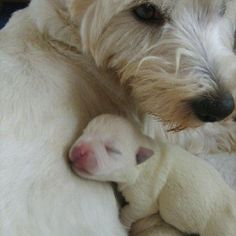 Newborn Westie look how sweet!!!! Pink nose and pink paws.