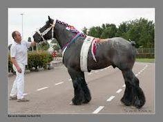 belgian horses - Google Search