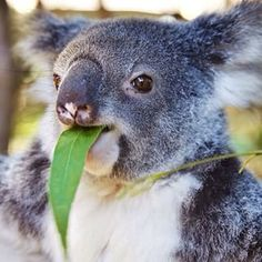 """Koala: """"My diet consists of eucalyptus leaves; they take a long time to digest, so that is why I sleep a lot!"""""""