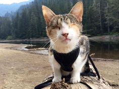 Meet Honey Bee. Dogs aren't the only pets that like to hike. Meet this amazing, trailblazing blind kitty!