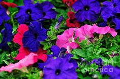 Colorful #morningglory #flowers art #prints by Kaye Menner