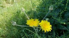 Sarı Çiçek +1