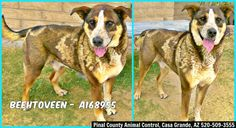 ***CODE RED - NEEDS A COMMITMENT HOLD BY 5:30 AM PDT SATURDAY, JULY 11, 2015*** THIS IS A DUPLICATE PICTURE OF BEETHOVEN, A 6 YEAR OLD HANDSOME BROWN AND WHITE GERMAN SHEPHERD MIX WHO NEEDS A FOSTER/ADOPTER/RESCUE ASAP! Can you give this lovely boy a home?