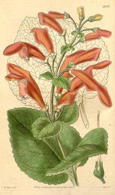 29 Dircaea fascialis (Hook.) Decne. [as Gesneria fascialis Hook.]  / Curtis's Botanical Magazine, t. 3626-3698, vol. 65 [ser. 2, vol. 12]: t. 3659 (1839) [W.H. Fitch]
