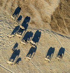 "Africa | ""Aerial shadow photography"" Herd of elephants as they traversed the dry Luangwa river floodplain, at sunrise. South Luangwa Nat Park- Zambia 
