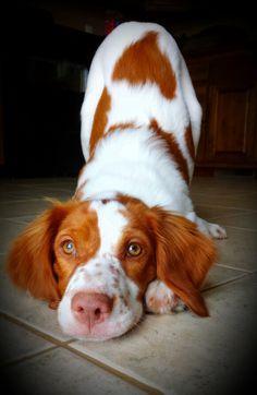 Ginger's new trick: yoga pose : aka- downward dog : Brittany Spaniel