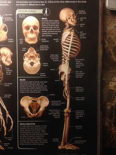 Skull Anatomy, Human Skull, Chimpanzee, Face, The Face, Faces, Facial