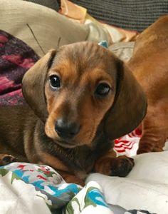 Harley, miniature dachshund