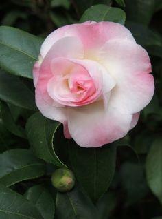 Japanese Camellia: Camellia japonica ′Dr. Tinsley′, Longwood Gardens