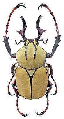 Dicronocephalus wallichi Hope, 1831