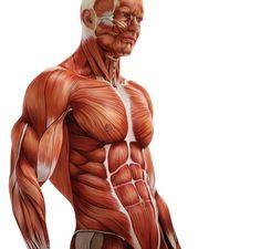 Exceptional Drawing The Human Figure Ideas. Staggering Drawing The Human Figure Ideas. Human Muscle Anatomy, Human Anatomy Art, Anatomy For Artists, Arm Anatomy, Anatomy Poses, Anatomy Study, Anatomy Sketches, Anatomy Drawing, Human Reference