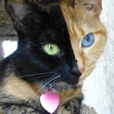 Venus: One look at Venus and you know that she's special. The cat with a half black, half orange face and one blue and one green eye had the Internet asking if she was real and offering theories of how she came to be. Source: Facebook User Venus's Page - Amazing Chimera cat