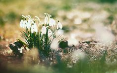 Image for Spring Snowdrops ULTRA HD Wallpaper