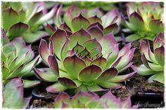 Suvikumpu Succulents, Garden, Flowers, Plants, Garten, Florals, Succulent Plants, Gardens, Planters