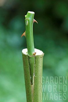 GRAFTING_A_ROSE_BUSH_STEM