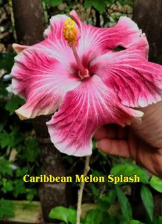Caribbean Melon Splash