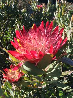 Taken by me .. Protea