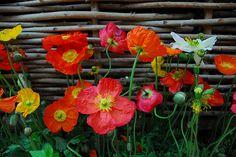 poppies.....