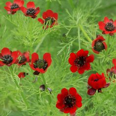 Adonis aestivalis - red flowered also known as pheasants eye Description A charming plant with frilled foliage that produces red flowers that make an Witch Garden, Plants, Geraniums, Border Plants, Flowers, Seeds, Poisonous Plants, Ornamental Plants, Red Flowers