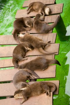Relaxing Asian Small Clawed Otters (Aonyx Cinerea)