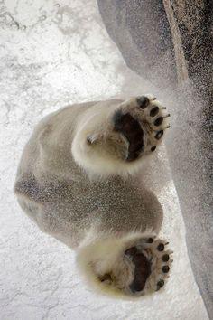 Arctic Dive, polar bear