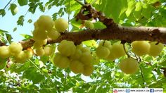 Gooseberry Tree - love it made as gooseberry stew - what you know bout that!!!