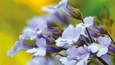 Haberlea Rhodophensis, detta pianta della Ressurrezione