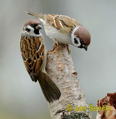 Photo of vrabec polní, Passer montanus, Tree Sparrow, Feld Sperling - should paint a picture of these interesting little birds Cute Birds, Pretty Birds, Small Birds, Little Birds, Sparrow Pictures, Bird Pictures, Animals And Pets, Cute Animals, Parus Major